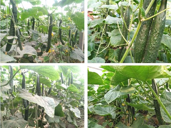 黄瓜施肥用什么?里贝里帮你解决黄瓜弯瓜问题