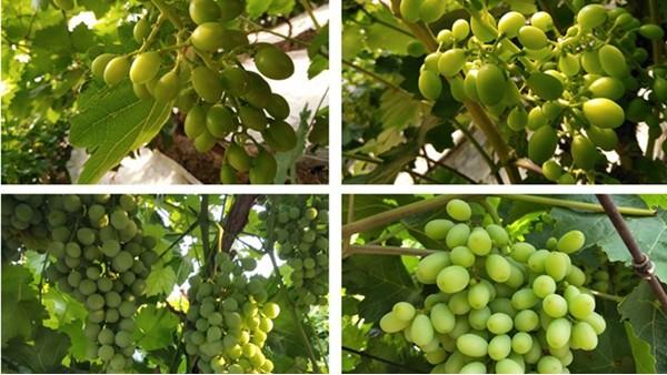 葡萄上色用什么肥?这些你不得不了解