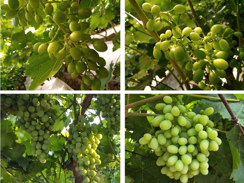 葡萄上色用什么肥