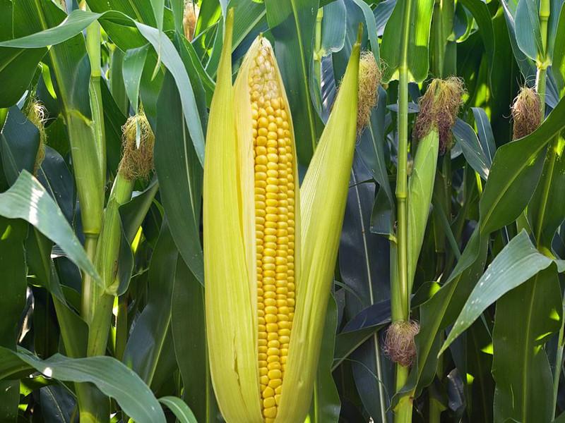磷酸二氢钾-玉米