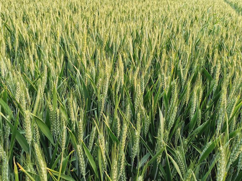 磷酸二氢钾-小麦