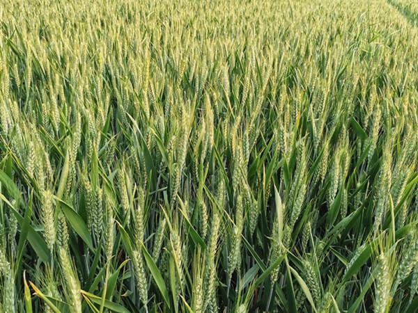 磷酸二氢钾在小麦上喷施效果如何?王总只选它!