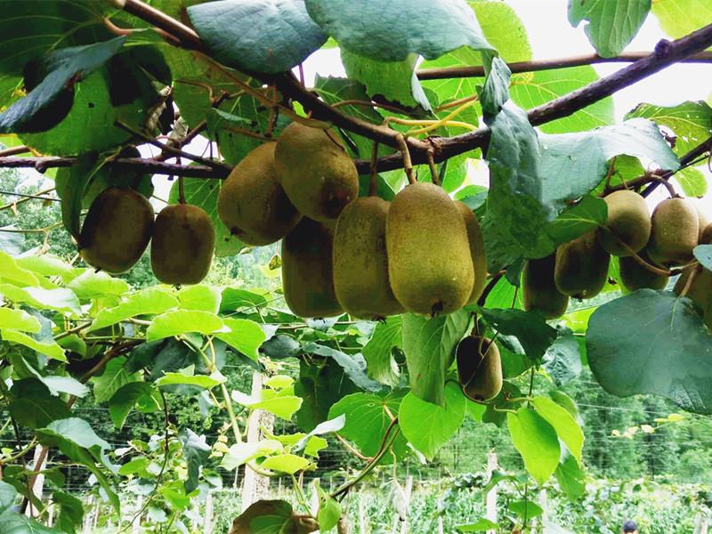 猕猴桃的施肥禁忌