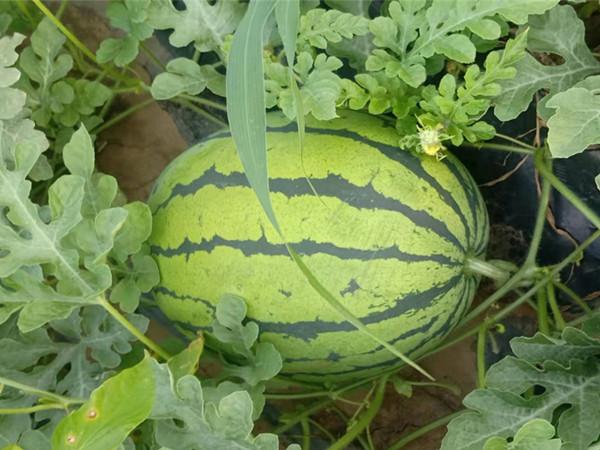 西瓜需要什么肥料