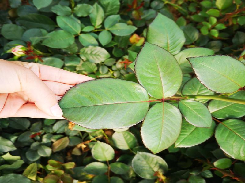 磷酸二氢钾玫瑰花 (2)