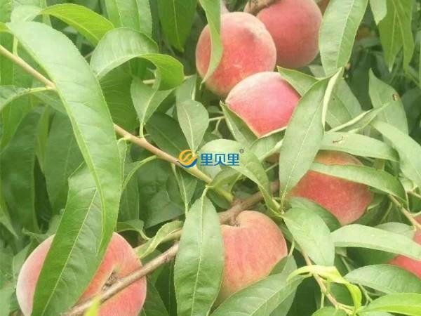 桃树上什么肥料好-宴沃桃