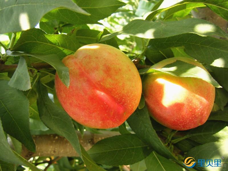 桃树专用肥料
