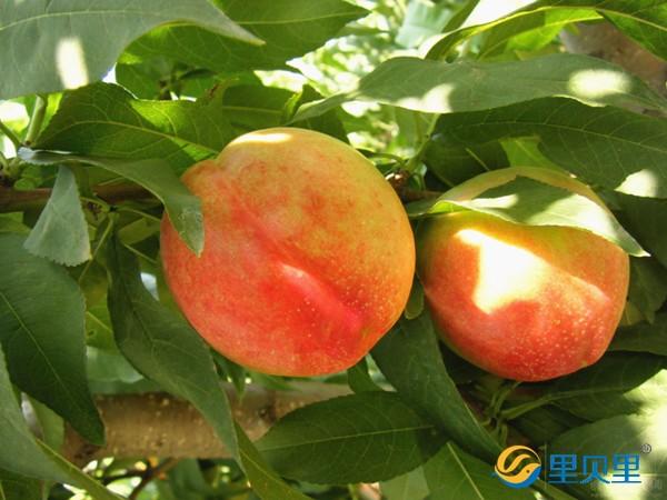 桃树专用肥料,秦大哥用里贝里喜获丰收!
