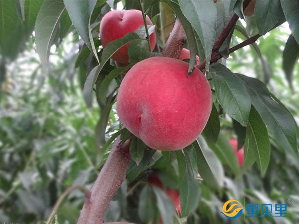 桃树追肥用什么肥料?一般人不知道用这个!