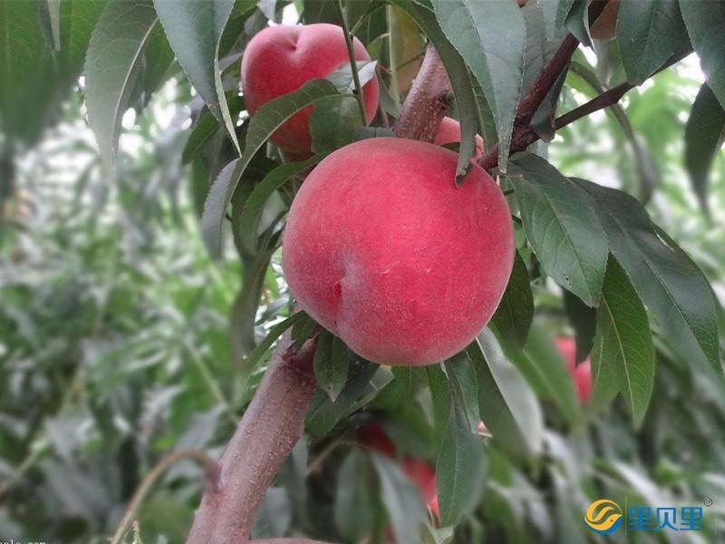桃树追肥用什么肥料