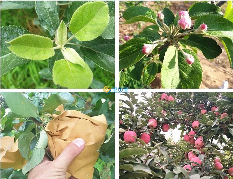 钙镁肥宴沃在苹果上使用