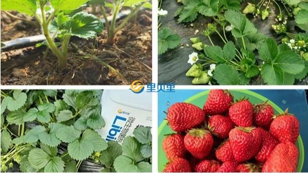草莓用什么肥料提苗?