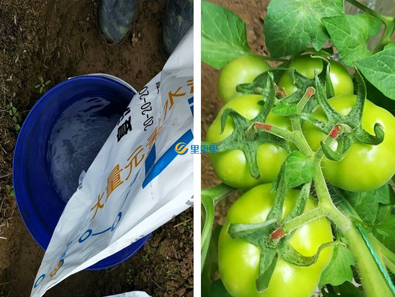 水溶肥在番茄上使用