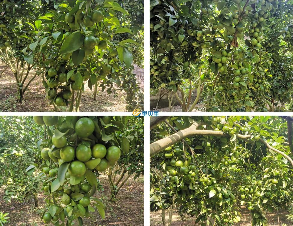进口水溶肥在柑橘上使用