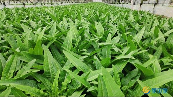 温室蔬菜施肥技巧,菜农一定要看!