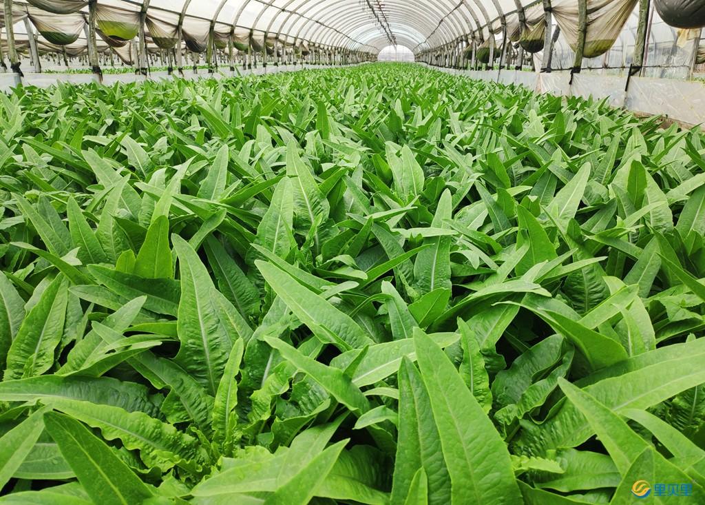 温室蔬菜-油麦菜