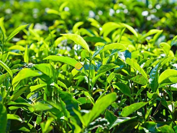 茶叶怎么种?茶叶高产的秘密在这儿