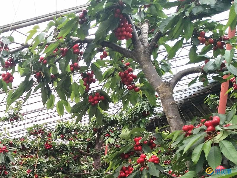 樱桃用什么肥料着色好