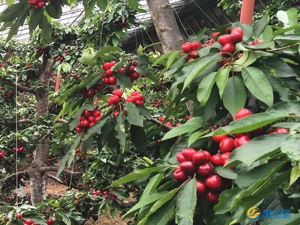 樱桃用什么肥料着色好?