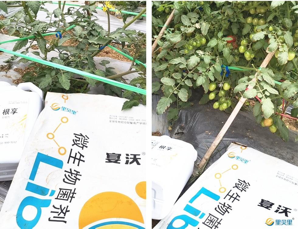 微生物菌剂在番茄上使用