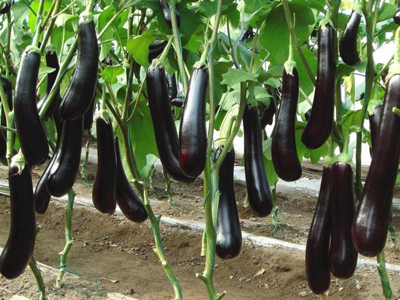 茄子用什么肥料长的快