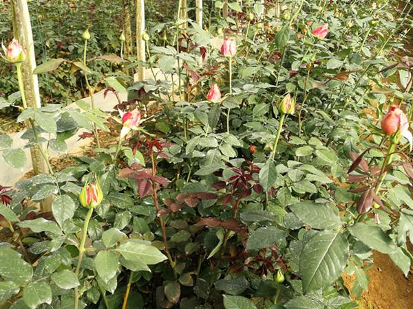 花卉生根剂,自然生根效果更好
