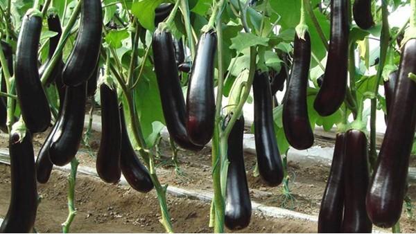 茄子用什么肥料长的快?里贝里宴沃值得信赖