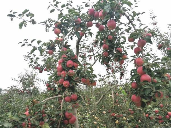 """苹果专用肥,王大哥说""""增产提质效果好"""""""