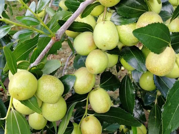 生根剂怎么用?大枣如何使用生根剂?