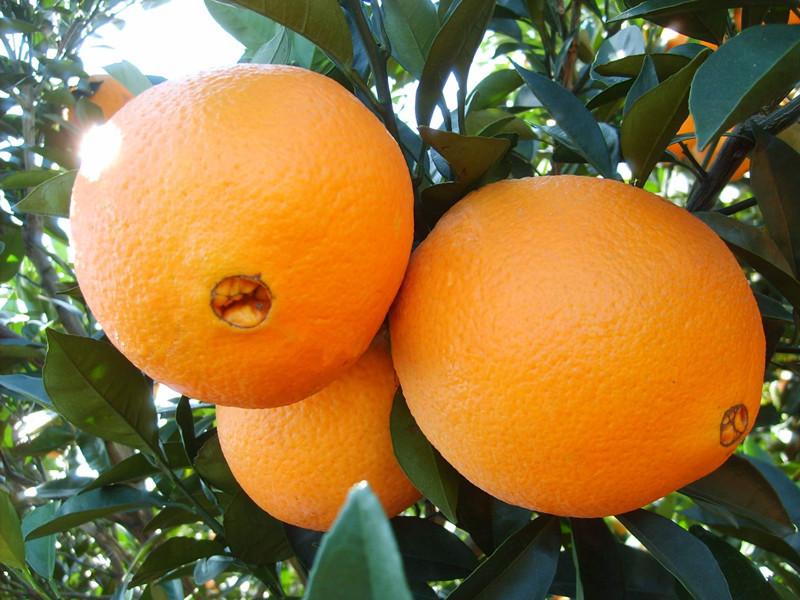 里贝里水溶肥-脐橙