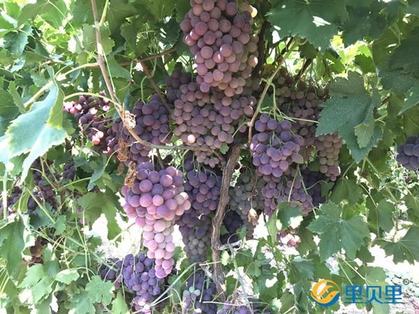 葡萄用什么肥料会更甜?就差你不知道了