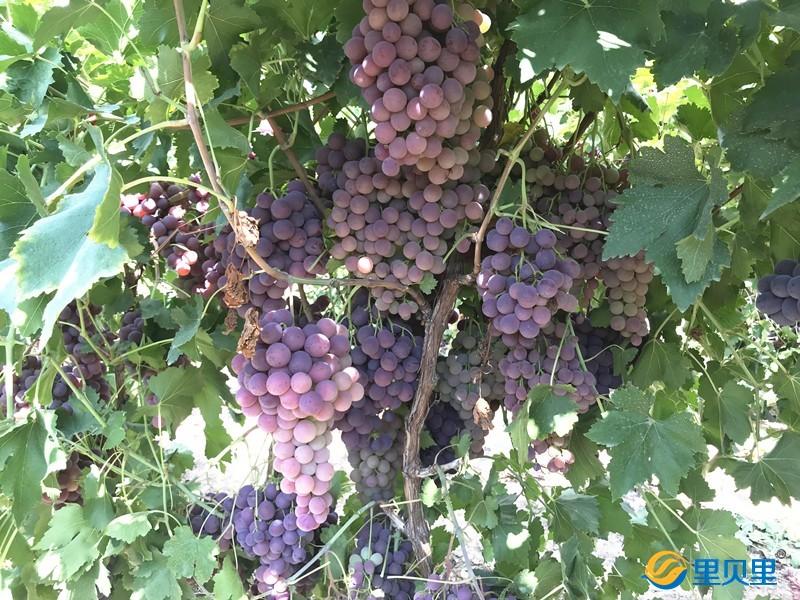 葡萄用什么肥料会更甜