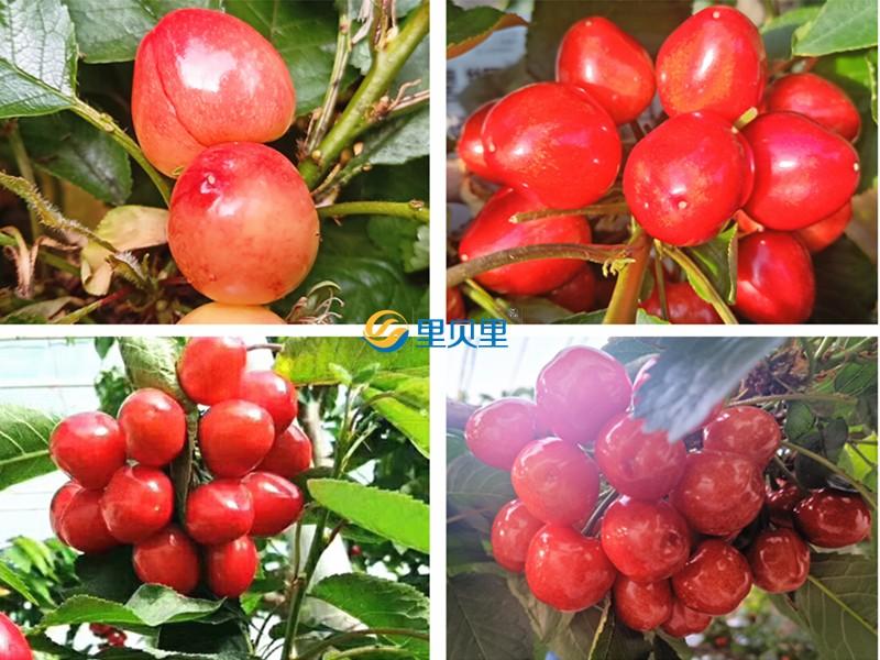 大樱桃秋季用什么肥料