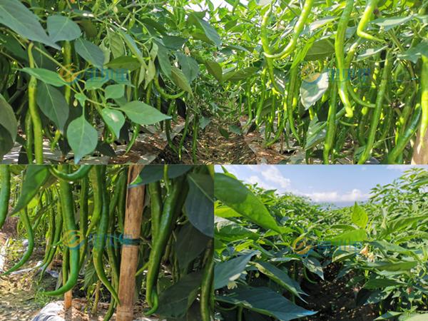 种植辣椒用什么肥料好?看看这位经销商的自述