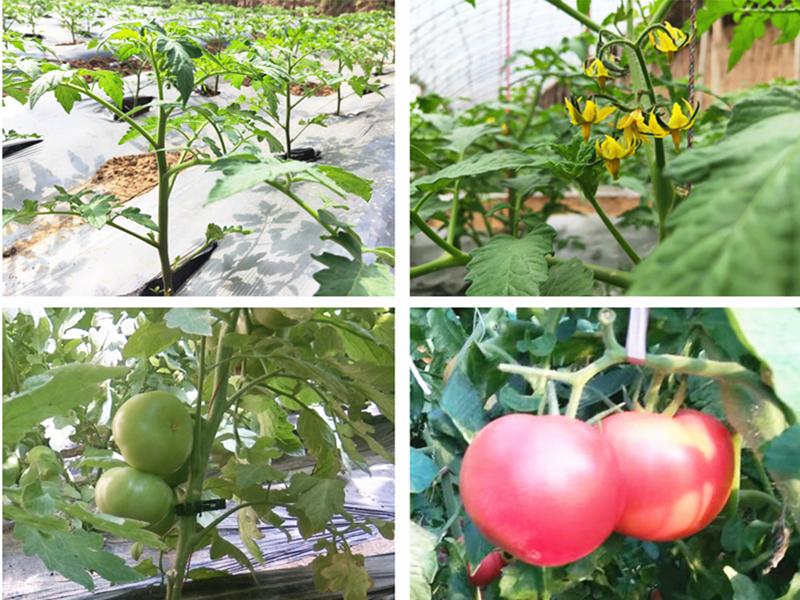 西红柿用什么肥料