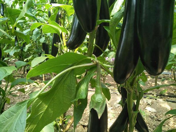 茄子用什么肥料好,钱总首选宴沃