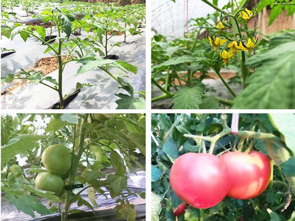西红柿用什么肥料?