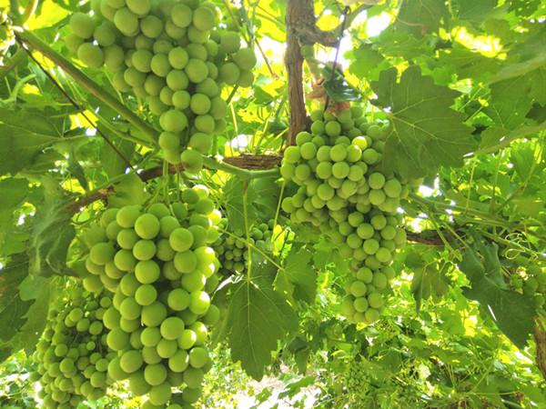 种葡萄什么肥料好?