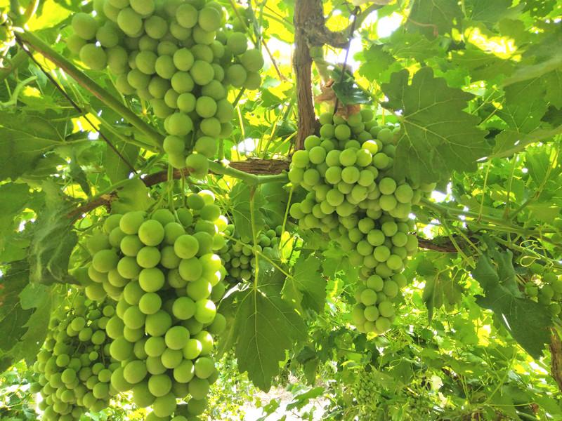 种葡萄什么肥料好