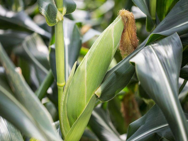 磷酸二氢钾对玉米的作用