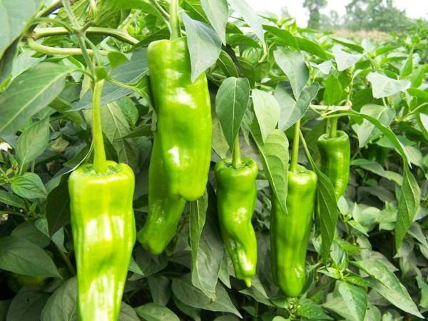 辣椒用什么肥料好?宴沃水溶肥之客户见证