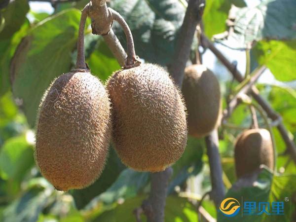 猕猴桃用什么肥料好?教你小妙招