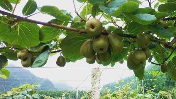 猕猴桃用什么肥料好?里贝里帮你轻松解决