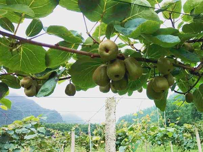 猕猴桃用什么肥料好