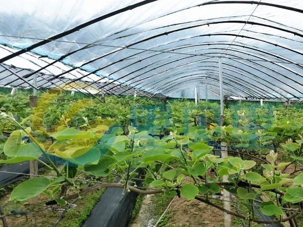 猕猴桃种植7、8月千万要记得补这个肥料!