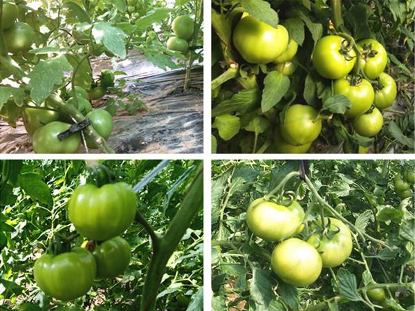 西红柿用什么肥料比较好,郭总就认定这套施肥方案!