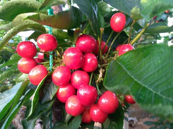 樱桃树用什么肥料好